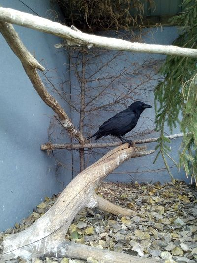Crow at the