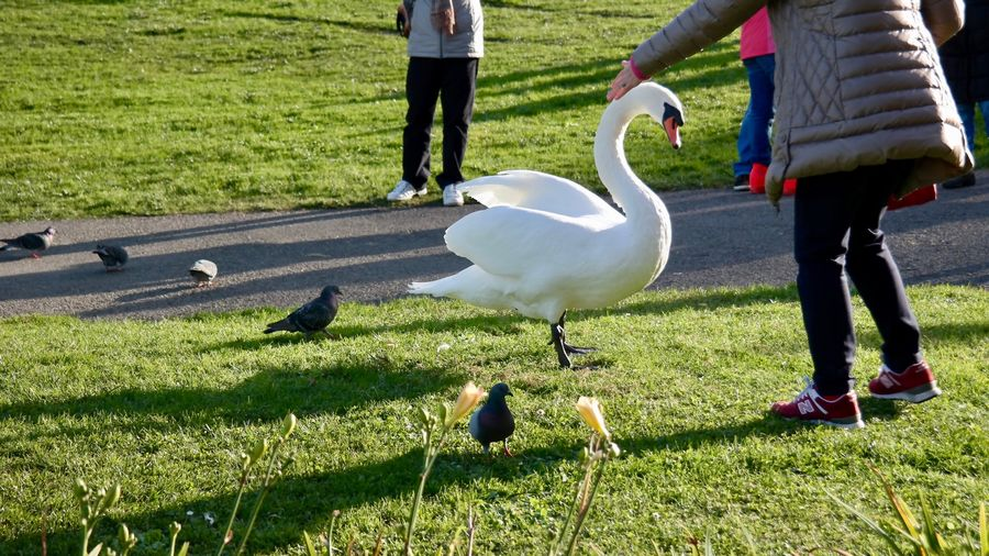 Animal Themes Animals In The Wild Outdoors Low Section Animal Wildlife Day Togetherness Nature Adapted To The City EyeEmNewHere Mute Swan Shadow Sunlight People Bird The Street Photographer - 2018 EyeEm Awards