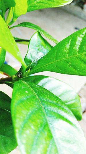 Lemon Lime By Motorola Green