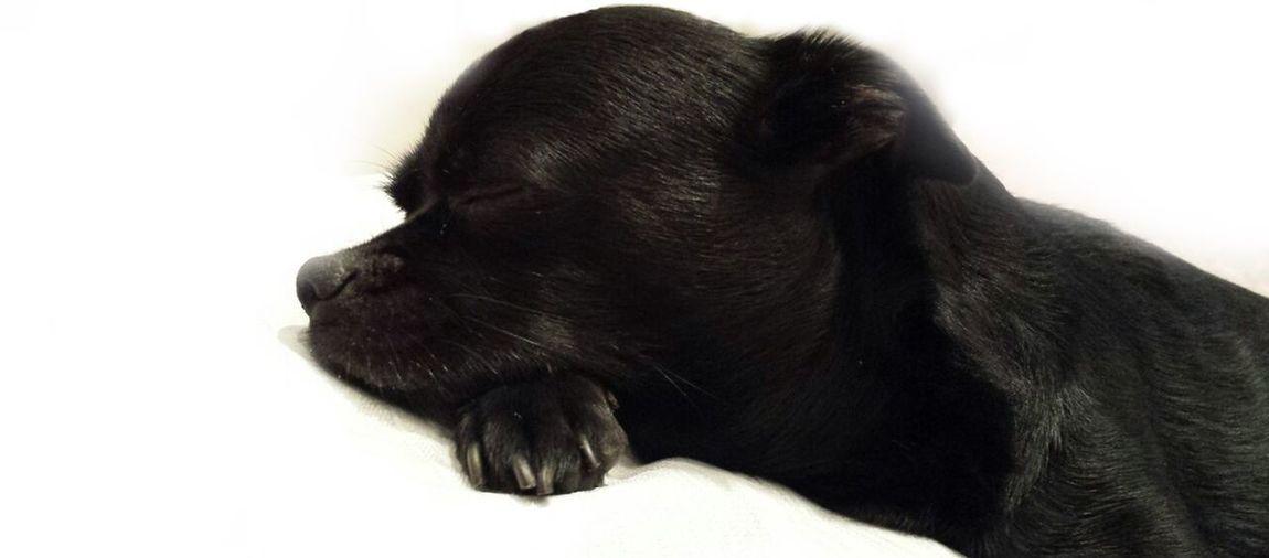 Blacky Pet Portraits Animal Themes Bestdogever Bestdogoftheworld Bestdog🐶❤️ Black Color Day Dog One Animal Pets White Background
