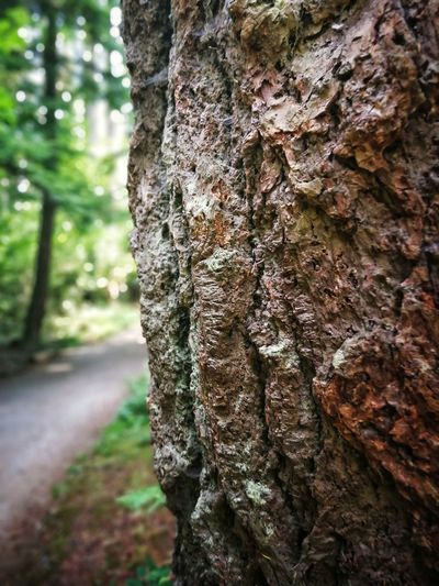 British Columbia Vancouver Stanley Park Canada Tree Forest Tree Trunk Textured  Pinaceae Bark Pine Tree Rough Moss