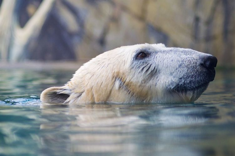 One Animal Animal Themes Animal Mammal Water Animal Wildlife Polar Bear Animals In The Wild Vertebrate Bear Animal Body Part Day Animal Head  Swimming Waterfront Nature No People Lake Outdoors Zoo