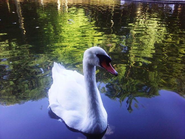 EyeEm Selects Water Animals In The Wild Lake Swan Swimming One Animal Animal Themes Bird Animal Wildlife Reflection Water Bird Beak No People Outdoors Nature Day Close-up SHAKURNTM Charleroi, Belgium Multi Colored Amusement Park