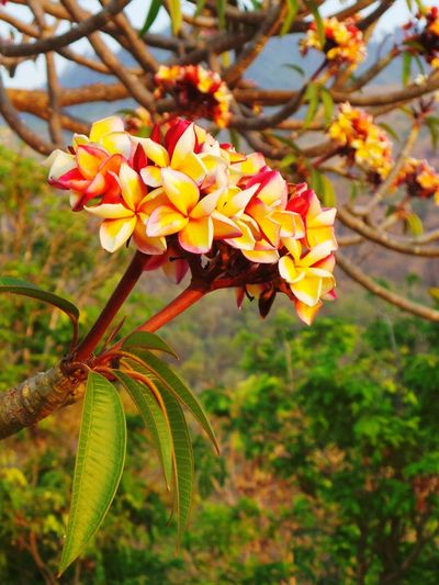 Flowers in trees. Beauty In Nature Beauty In Nature Nature Fragility Close-up Growth Flower Focus On Foreground Orange Color Freshness Outdoors Day No People Flower Head Myanmar Myanmarphotos Nature Burma Flower Collection Flowers, Nature And Beauty