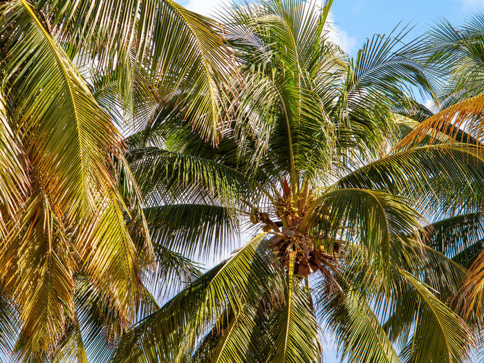Tropical Palm tree with sky behind Palm Tree Tropical Climate Growth Green Color Coconut Palm Tree Nature Tropical Tree Tree Carribean Sky