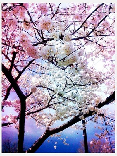 Sakura at Japan Sakura