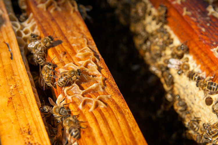 Animal Animal Themes Animal Wildlife Animals In The Wild APIculture Beauty In Nature Bee Beehive Close-up Group Of Animals Honey Bee Honeycomb Insect Invertebrate Large Group Of Animals Marine Nature No People Selective Focus Wood - Material Zoology