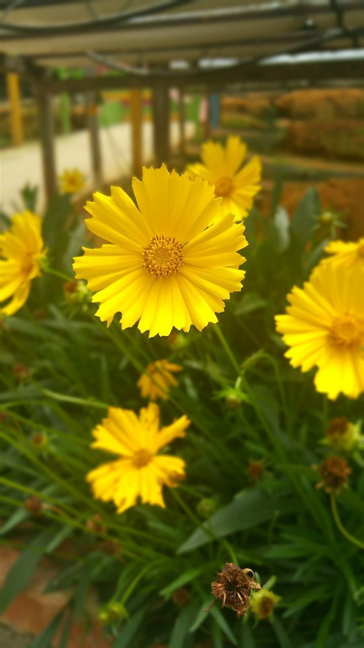 yellow, flowering plant, flower, plant, fragility, vulnerability, freshness, beauty in nature, flower head, petal, inflorescence, growth, close-up, focus on foreground, no people, day, nature, pollen, outdoors, botany, gazania