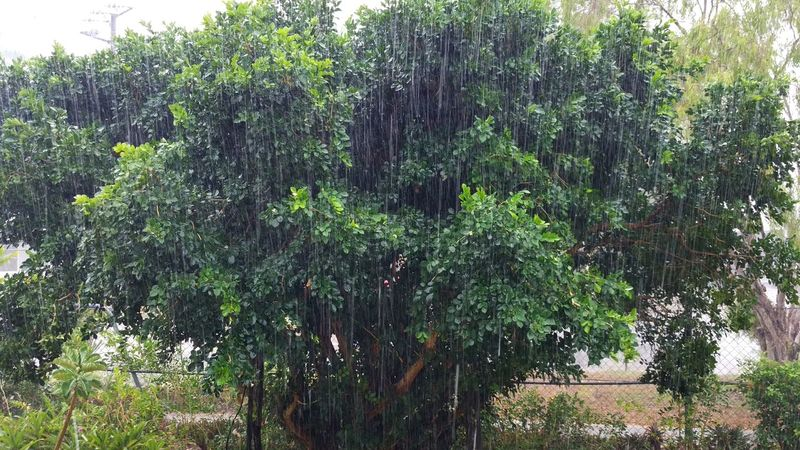 Raining again EyeEm 2016 Tree Growth Tranquil Scene Tranquility Green Color Beauty In Nature Outdoors Taking Photos Mobilephotography Check This Out From My Point Of View Scenics Good View Raining Growing Non-urban Scene in Darwin, Northern Territory, Australia
