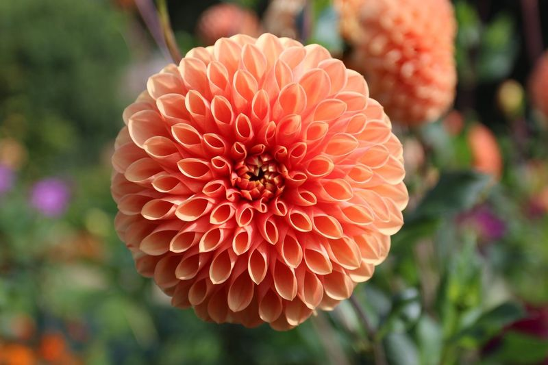 Flower Beauty In Nature Petal Fragility Nature Freshness Flower Head Close-up Blooming Orange Color Growth Plant No People Outdoors Day Dahlia Audley End
