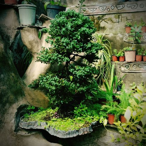 Zen... Plant No People Green Color Tree Outdoors Close-up Day Life's Simple Pleasures... Thinking About Life EyeEm Gallery Beauty In Nature Huaweig7 Taking Photos Bonsai Tree Bonsai Bonsai Hunters