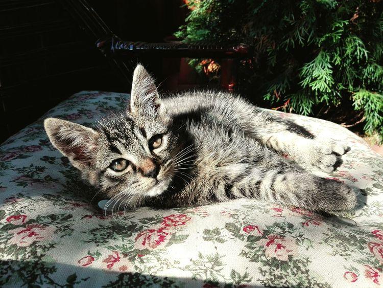 Kitten Sun Sunbathing Cat