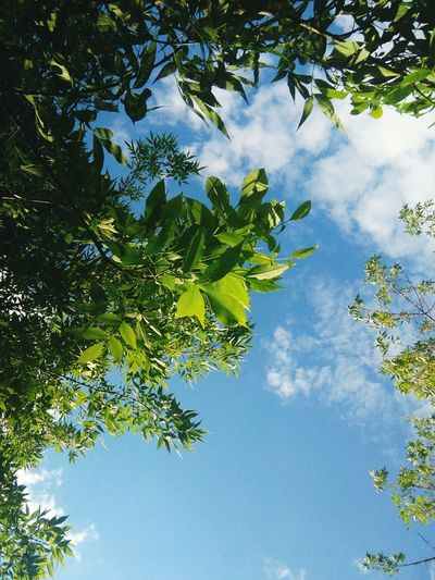 Tree Sky Leaf Nature Low Angle View Cloud - Sky Branch Outdoors Blue Green Color Day No People Beauty In Nature Forest Plant Part Scenics Tree Area Freshness