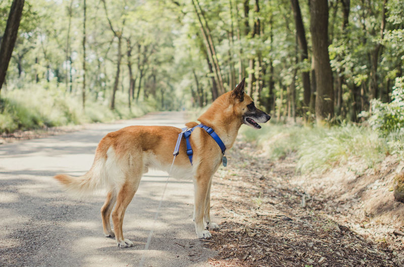 Malinois Looking Away On Road In Forest