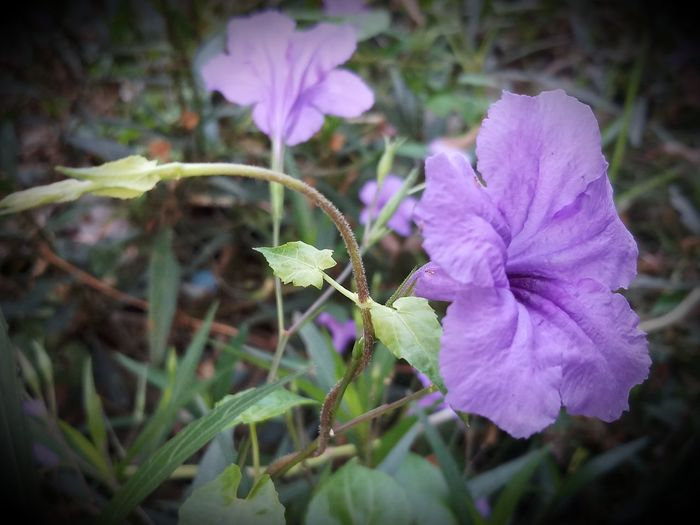 Beauty In Nature Close-up Day Flower Flower Head Focus On Foreground Freshness Growth Leaf No People Outdoors Purple Selective Focus