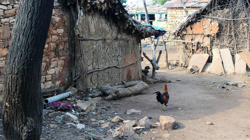 Outdoors Day Village Village Life Village View Village Photography Tribal Tribe India Indian Culture  Lanscape Landscape Landscape_photography Village Road Villagelife Villagescape Village Scene Rooster Hen Rooster And Hens Old Architecture Old Is Gold