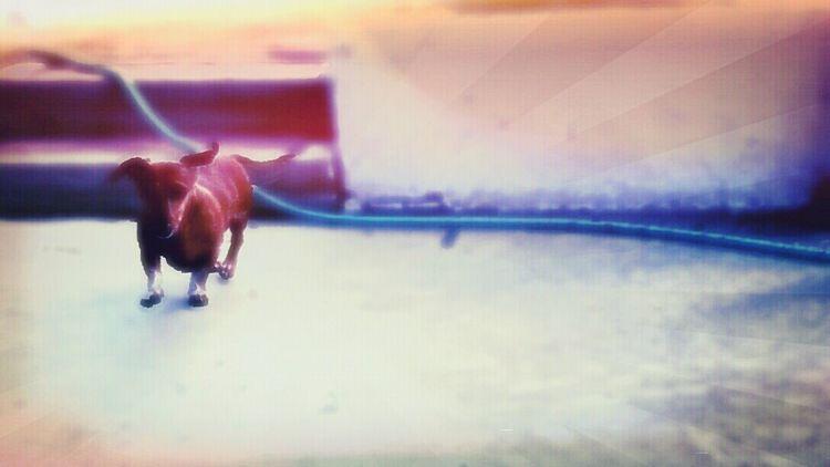 Doodle Dach Dachshund Weeniedog Frankfurt Red Jimmy