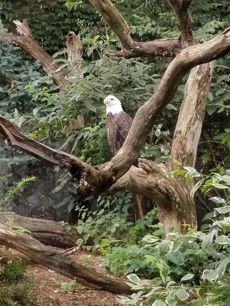 Pennsylvania Pittsburgh National Aviary Beauty In Nature Perching Day Outdoors No People Animal Themes Bird Branch Tree One Animal Animal Wildlife Log Tree Log Bald Eagle Eagle The Week On EyeEm Perspectives On Nature The Great Outdoors - 2018 EyeEm Awards