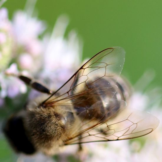 Honey bee Wings Nature Makro Makrofotografie Ogrod Garden Naturephotography Beautynature Hobby Makros Bee HoneyBee Animals Animallovers Honey Mosquito Fly Animal Wing