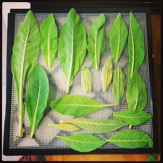 Laying out Mullein Leaves destined for dehydrator land. i don't always line my leaves up so prettily...these fuzzy little lances were calling for it though! Verbascum