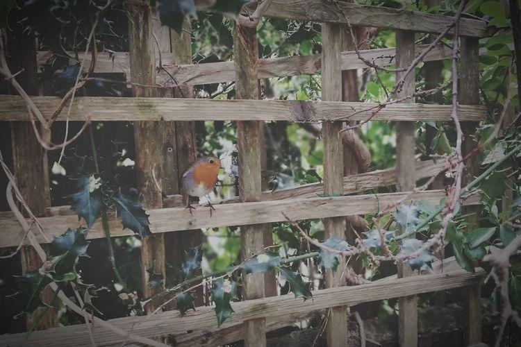Robin in the
