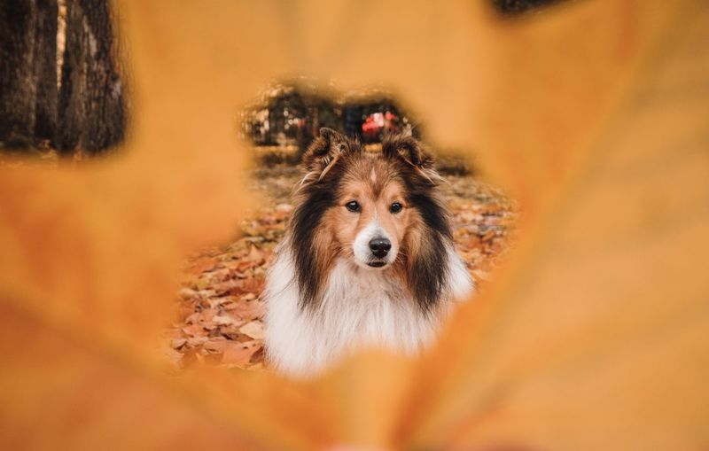 High angle portrait through a hole in a leaf of dog looking away during autumn