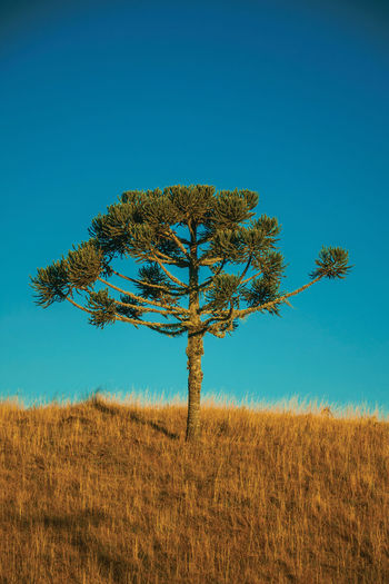 Pine trees on hilltop from rural lowlands covered by dry bushes near cambará do sul. brazil.