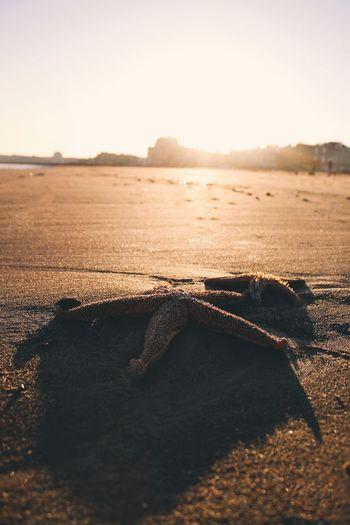 Portobello Scotland Starfish  Sea Edinburgh Portobello Beach, Edinburgh No People Outdoors Day Reptile Beauty In Nature