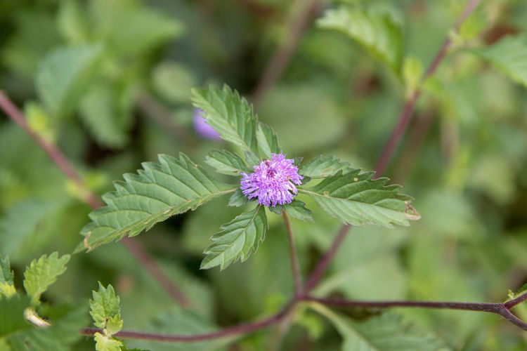 Plant Flower Flowering Plant Growth Beauty In Nature Green Color Freshness Leaf Plant Part Close-up Fragility Vulnerability  Focus On Foreground Nature No People Pink Color Day Petal Inflorescence Flower Head Outdoors Purple