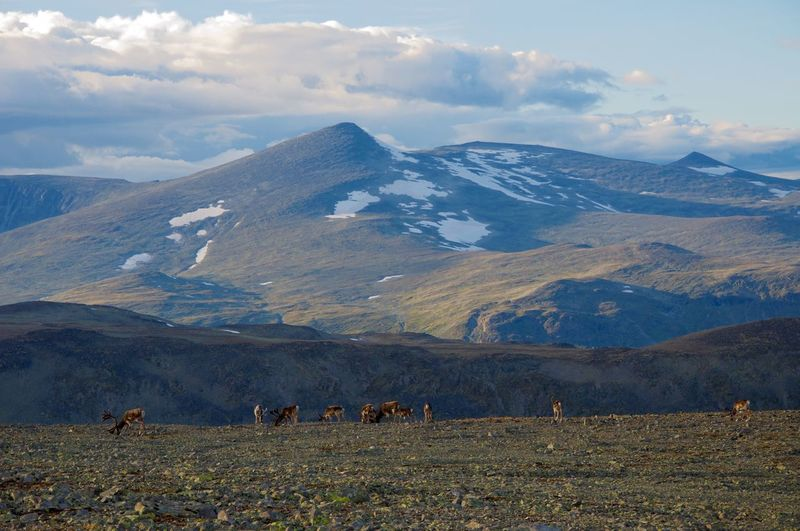 Reindeers grazing on field against mountains