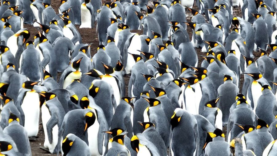 King Pinguine Falkland Islands Wildlife & Nature Outdoors Large Group Of Animals Animals In The Wild
