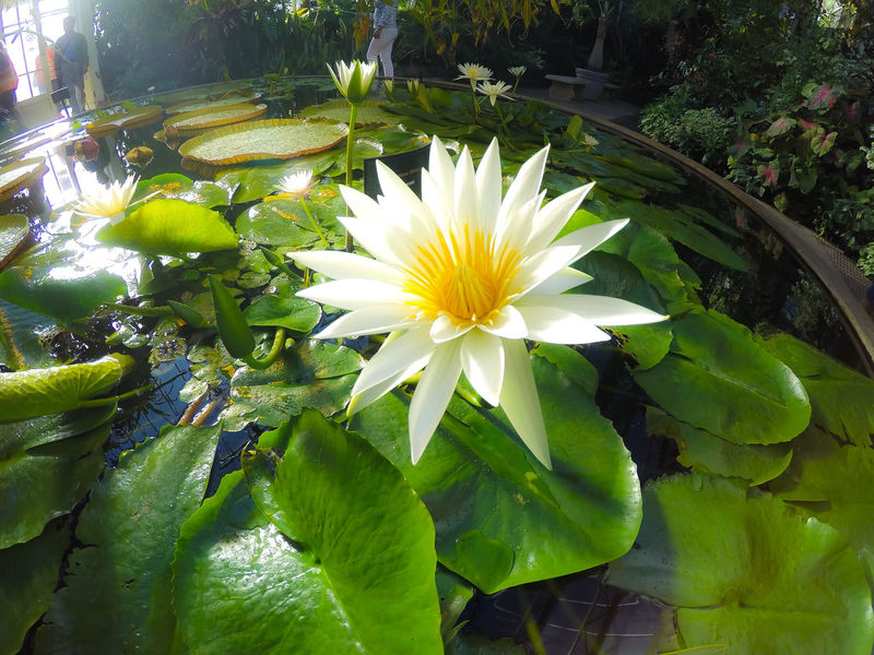 White Water Lily at the Botanical Garden in Auckland, New Zealand. Auckland Domain Beauty In Nature Blooming Blossom Close-up Floating On Water Flower Flower Head Fragility Freshness Green Color Leaf No People Petal Plant Pond Travel Water Water Lily White Water Lily Yellow