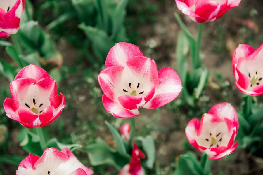 Beautiful spring tulips EyeEm Best Shots - Nature EyeEm Gallery EyeEm Best Shots EyeEm Nature Lover Nature Nature_collection Nature Photography Backgrounds Pink Color Plant Focus On Foreground Flower Close-up Flowering Plant Freshness Petal Beauty In Nature Day Fragility Growth Outdoors No People Inflorescence Nature Flower Head
