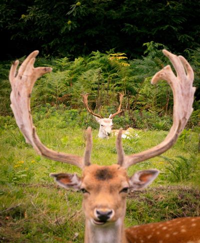 Antler Horned Animals In The Wild Deer Animal Themes Animal Wildlife Stag Animal Head  Nature No People Day Outdoors Tree Grass Mammal Beauty In Nature