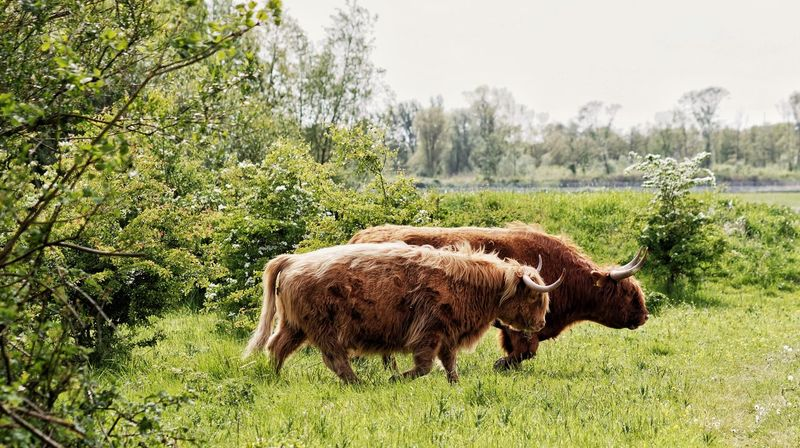 Highland Cattle Blocking My Way Just Passing By... Dutch Landscape