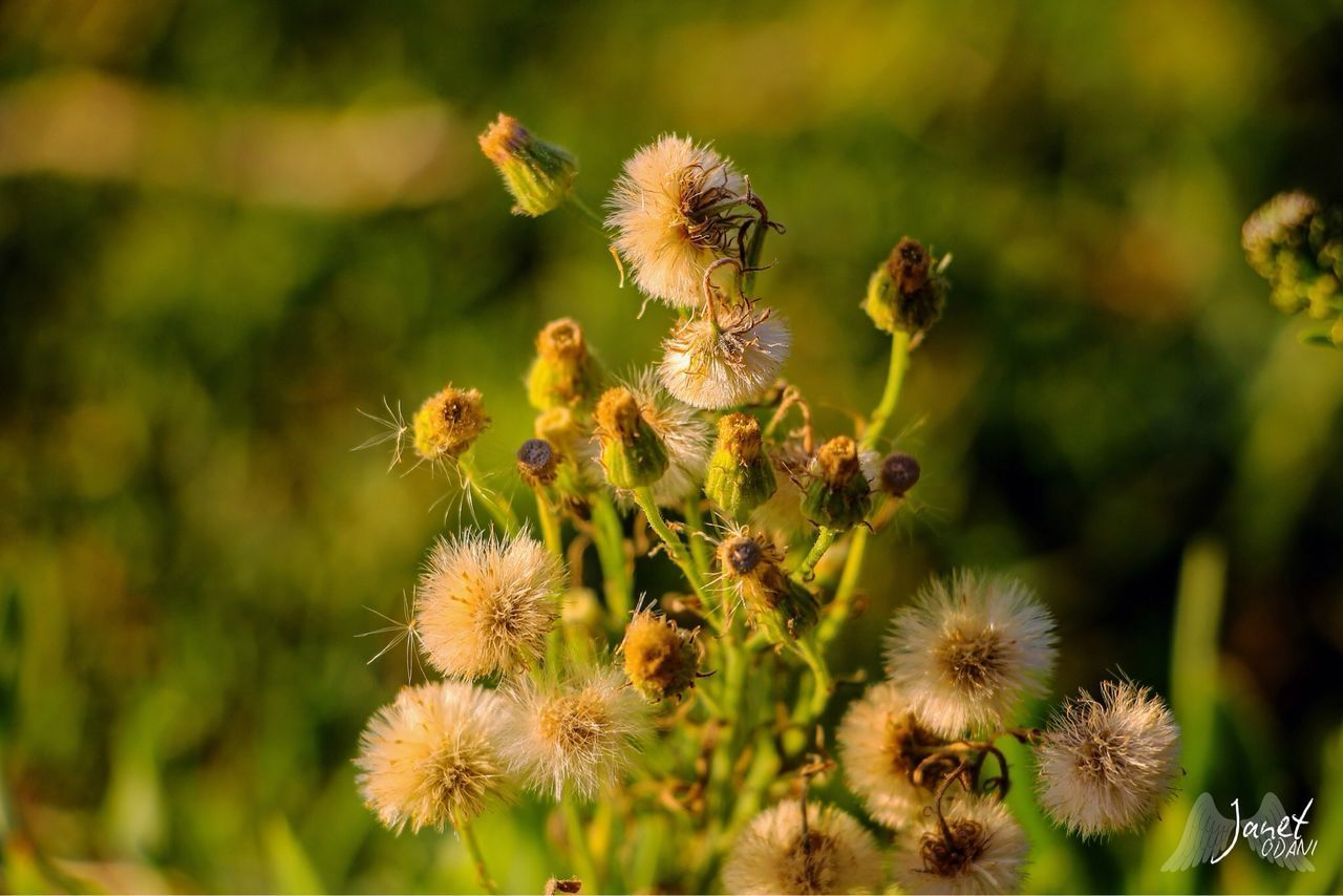 flower, flowering plant, plant, vulnerability, fragility, growth, beauty in nature, freshness, nature, flower head, close-up, focus on foreground, no people, day, inflorescence, petal, selective focus, sunlight, outdoors, green color, pollination