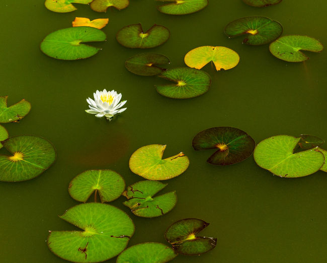 High angle view of water lily leaves floating on pond