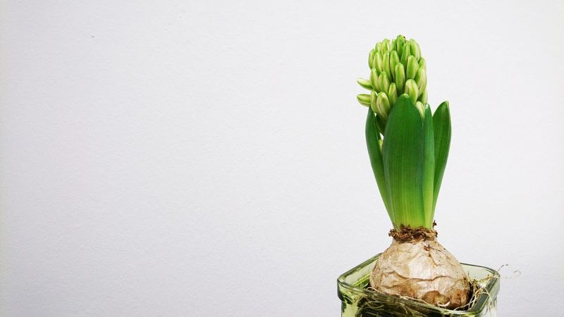 I can feel spring is already approaching :-) Hyacinth Hyacinth Flower Bud Flower Bud Spring Springtime Blossom Green Color Green Blossom Bulb Flower Bulb Green Studio Shot No People Indoors  Close-up White Background Freshness Flower Head Day