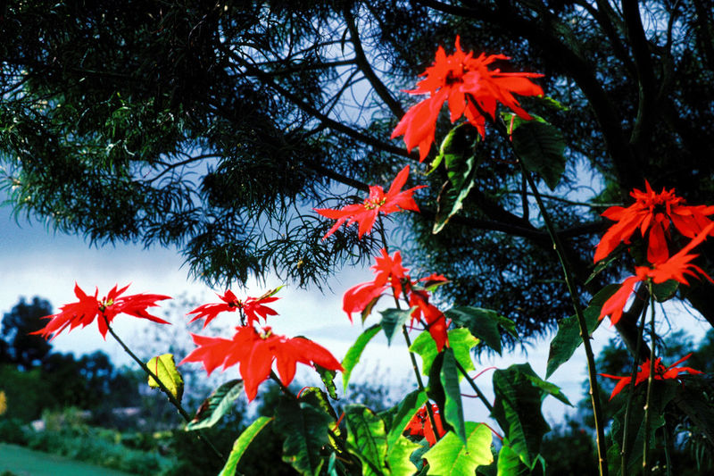 Plant Tree Red Beauty In Nature Nature Growth Autumn No People Leaf Plant Part Maple Tree Change Flower Maple Leaf Flowering Plant Outdoors Sky Branch Tranquility Focus On Foreground