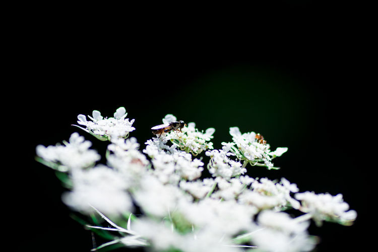 Beauty In Nature Black Background Botany Bunch Of Flowers Cherry Blossom Close-up Copy Space Day Flower Flower Head Flowering Plant Fragility Freshness Growth Inflorescence Nature No People Petal Plant Selective Focus Small Studio Shot Vulnerability  White Color