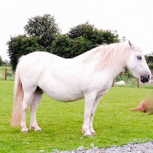 A Horse