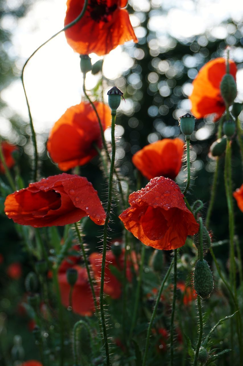 plant, beauty in nature, growth, close-up, flowering plant, flower, focus on foreground, nature, freshness, fragility, vulnerability, no people, petal, red, day, inflorescence, flower head, plant stem, outdoors, orange color, poppy, orange