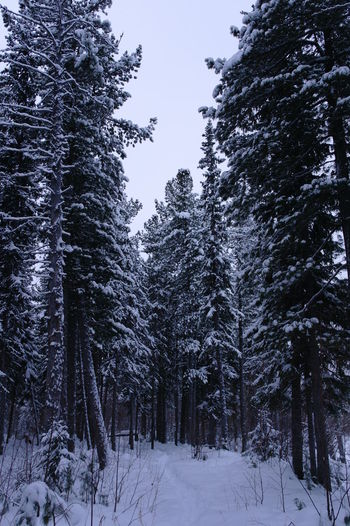 Siberian spruce forest in winter Beauty In Nature Cold Temperature Forest Nature Plant Scenics - Nature Snow Tranquility Tree Winter WoodLand
