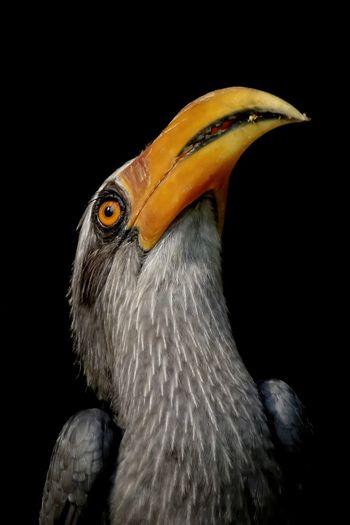 Close-up of hornbill against black background
