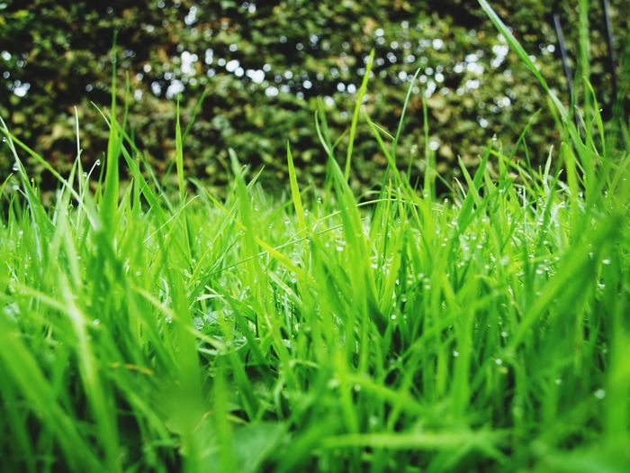 The lawn and