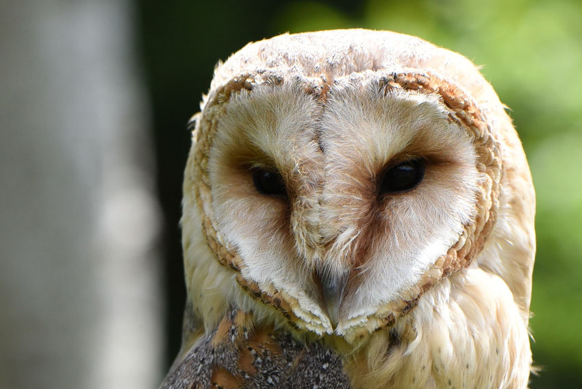 Holiday impressions... Animal Themes Beak Bird Bird Of Prey Close-up Day Domestic Animals Focus On Foreground Looking At Camera Nature No People One Animal Outdoors Owl Portrait