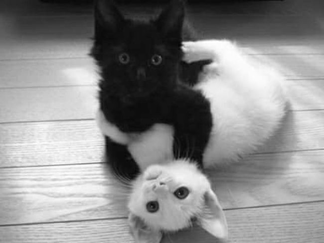 Better Together Cute Pets Cute Cats Cutecats Cute♡ Lovely Black & White Blackandwhite Playing With The Animals