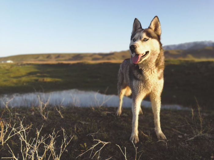Husky dog looking away on field