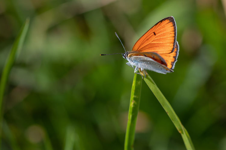 Große Feuerfalter Large Copper Lycaena Dispar Animal Animal Wildlife Animal Wing Beauty In Nature Butterfly Butterfly - Insect Close-up Focus On Foreground Insect Invertebrate Nature No People One Animal Orange Color