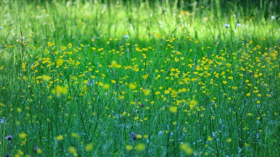 Buttercup meadow Buttercups In Full Bloom Buttercup Flower Buttercup Meadow Flowers, Nature And Beauty English Garden Style Tyresö Slott Sweden Tyresö Yellow Flowers